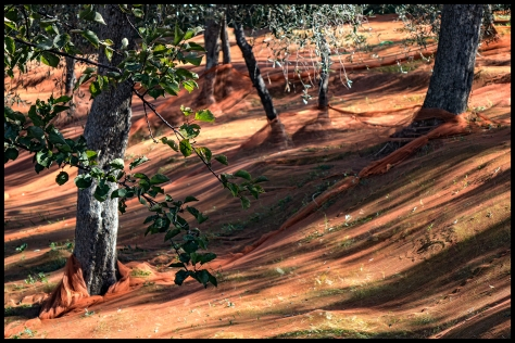 Ligurien-2017-Olivenernte-01