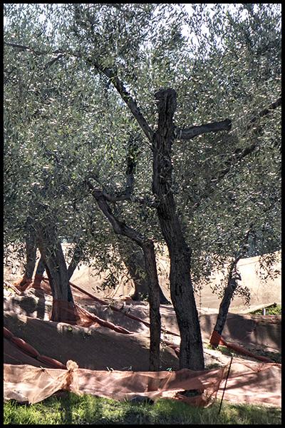 Ligurien-2017-Olivenernte-0